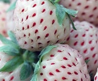 The Parable of the Warrior and the Pineberries